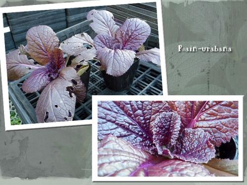 紫色のハクサイの苗を頂きましたぁ (^ ^)
