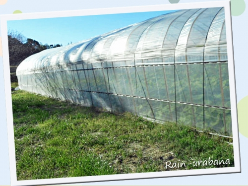 蕗栽培の温室♪
