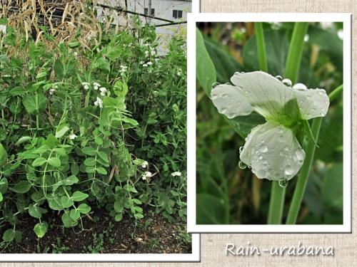 雨の中の絹サヤ♪