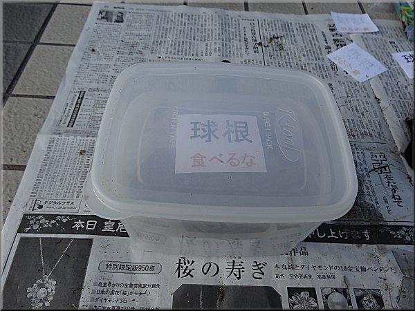 球根冷蔵6