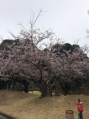 160326上総富士桜