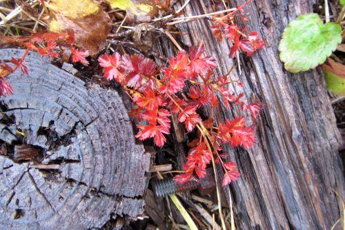 チングルマ紅葉