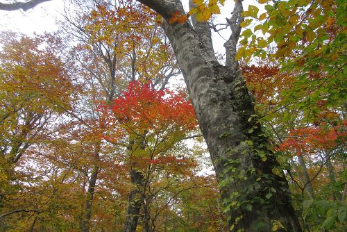 カエデ紅葉が混じる
