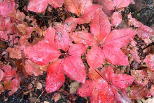 アカヤシオの紅葉