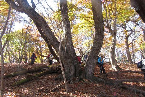 大きなクリの木