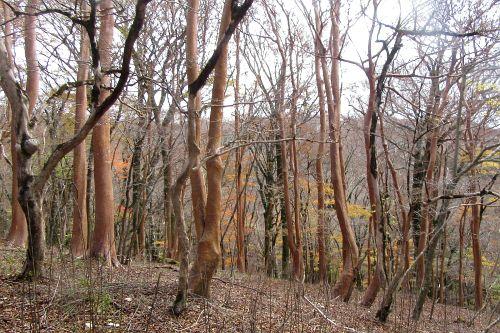 ヒメシャラの森