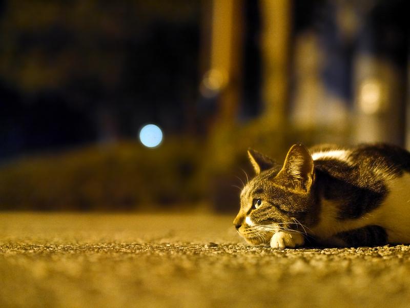 秋の夜夢見る猫1