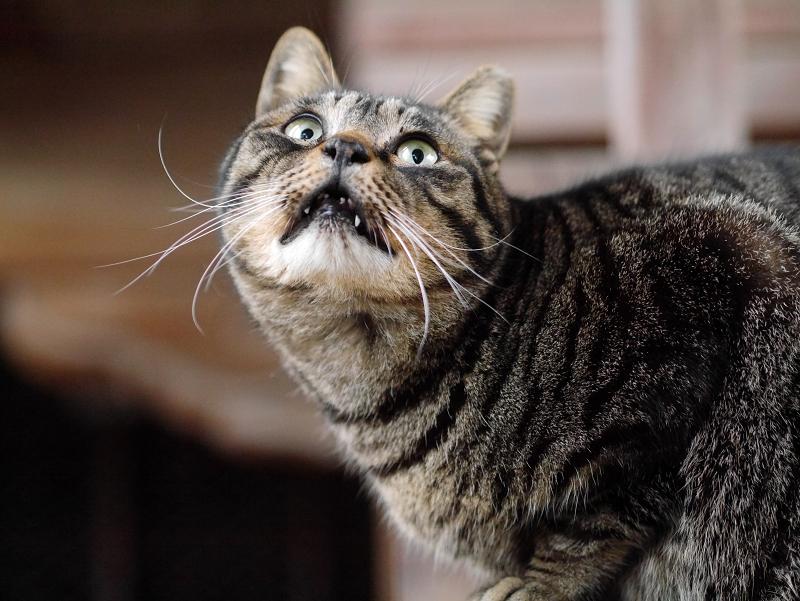 ギョッとした顔で見上げてるキジトラ猫