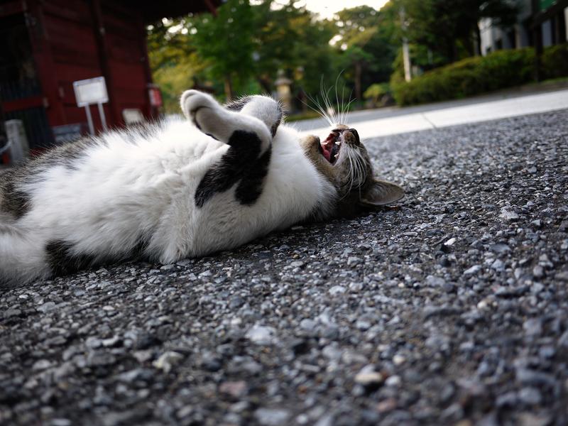 門前の仰向けキジ白猫