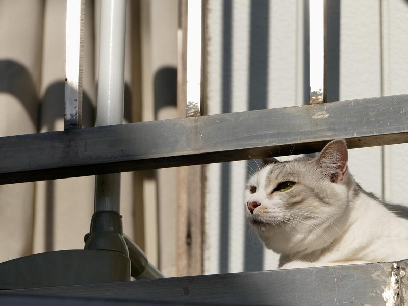 朝のベランダの白キジ猫1