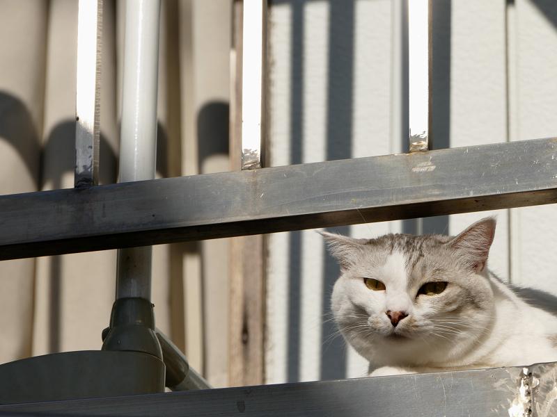 朝のベランダの白キジ猫2