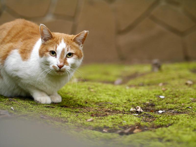 境内の鼻筋が通った茶白猫1