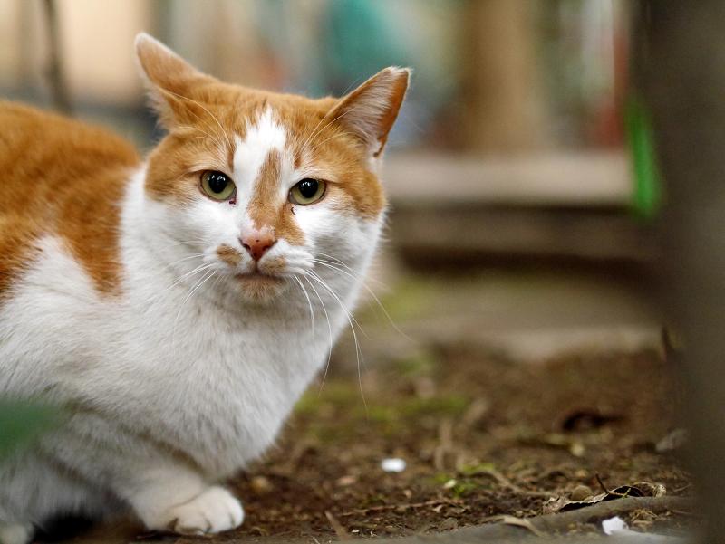 境内の鼻筋が通った茶白猫2