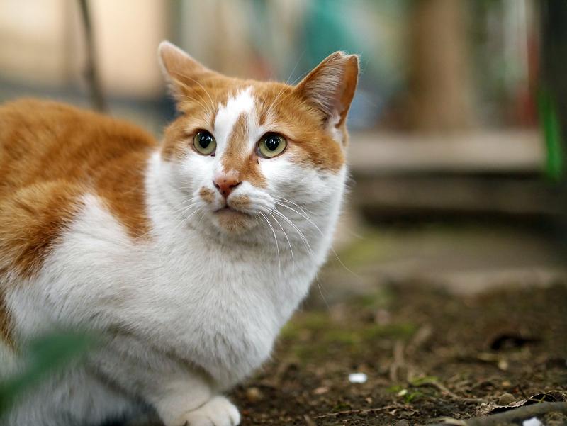 境内の鼻筋が通った茶白猫3