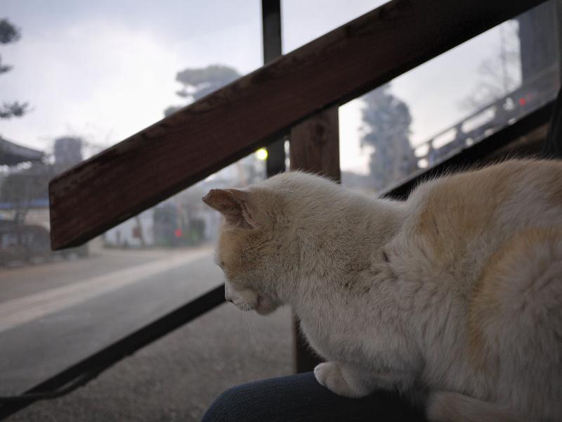 膝に乗って寝ちゃった白茶猫2