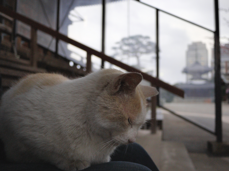 膝に乗って寝ちゃった白茶猫3