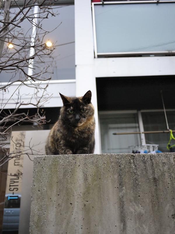 コンクーリと塀のサビ柄猫1