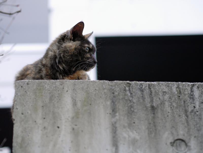 コンクーリと塀のサビ柄猫2