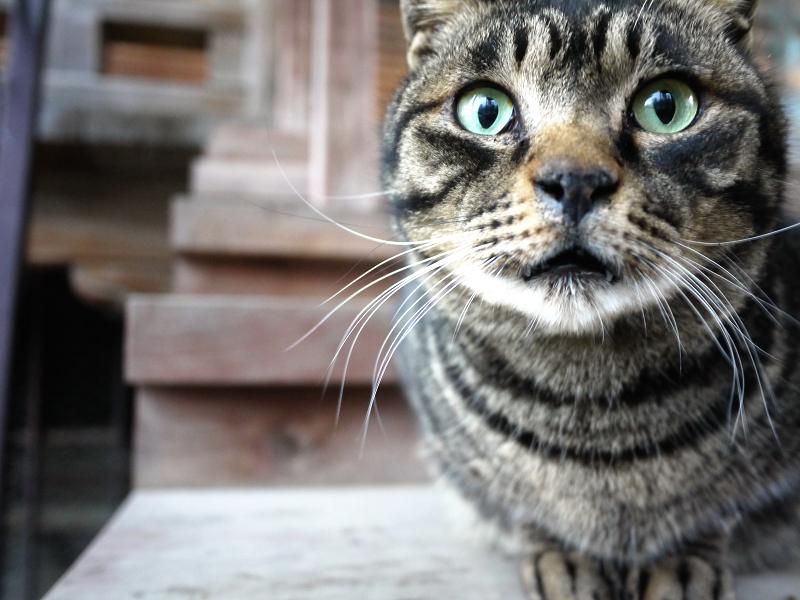 お寺の階段のキジトラ猫のアップ