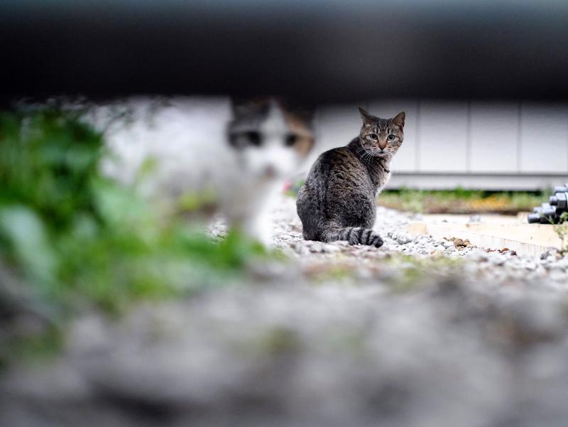 工事現場の白三毛猫とキジトラ猫1