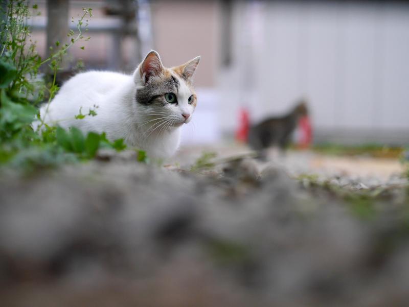 工事現場の白三毛猫とキジトラ猫3