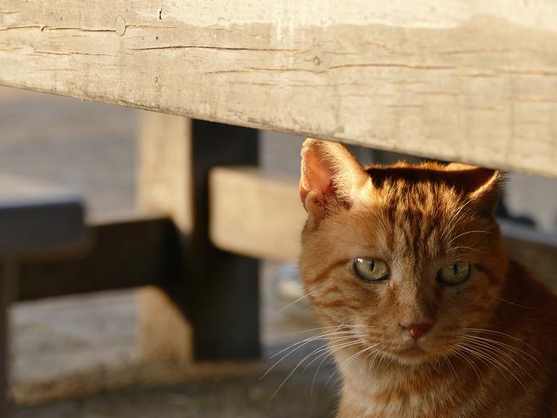 木製ベンチの下の茶トラ1
