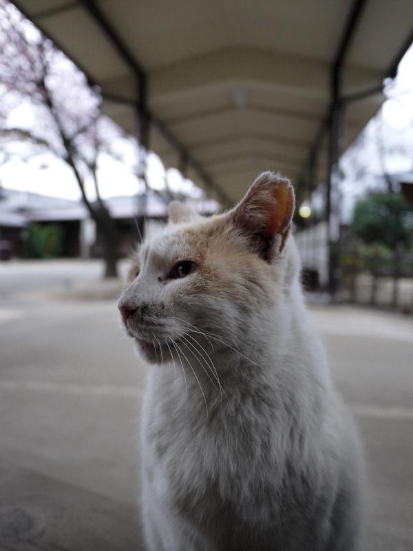 通路で横を向いてる白茶猫