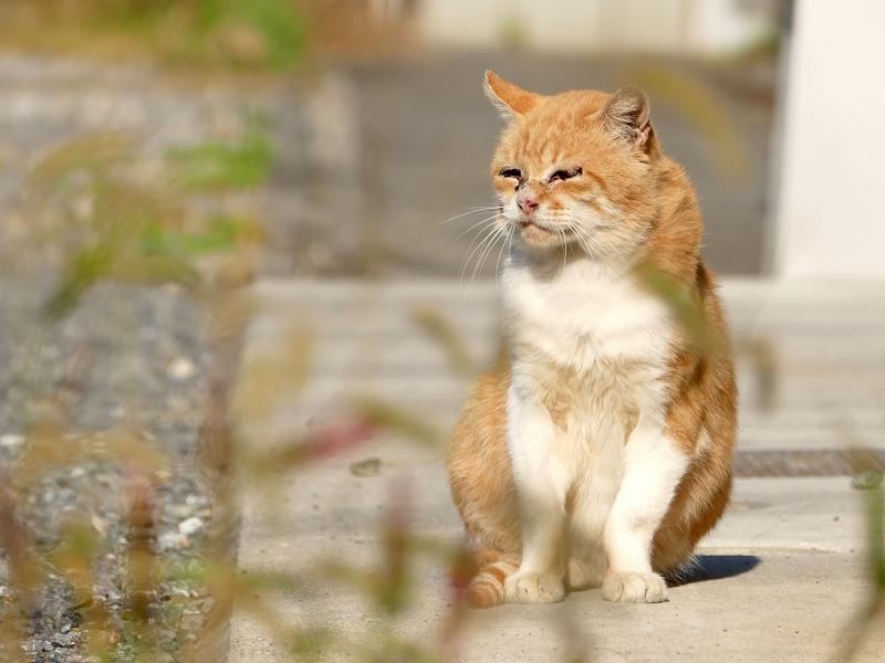 エノコロ草と猫1