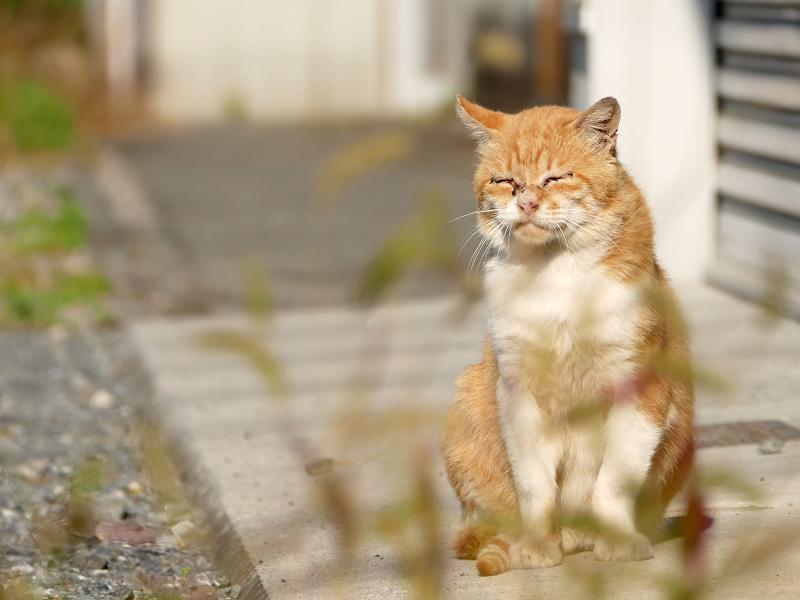 エノコロ草と猫2