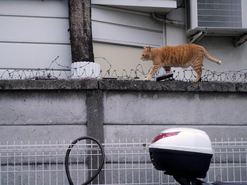ブロック塀の有刺鉄線を跨いで歩く茶トラ猫1