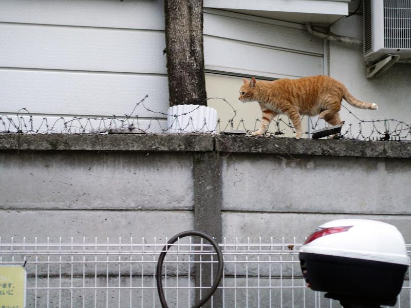 ブロック塀の有刺鉄線を跨いで歩く茶トラ猫2