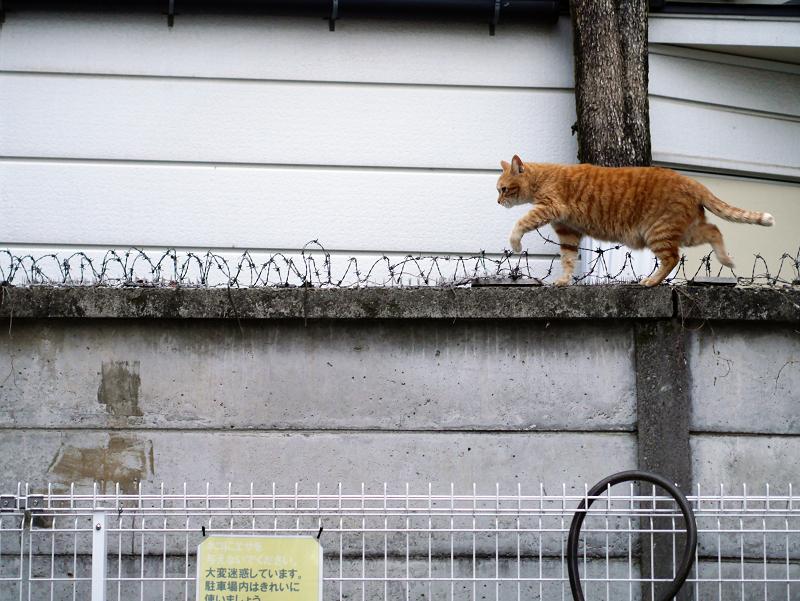 ブロック塀の有刺鉄線を跨いで歩く茶トラ猫3