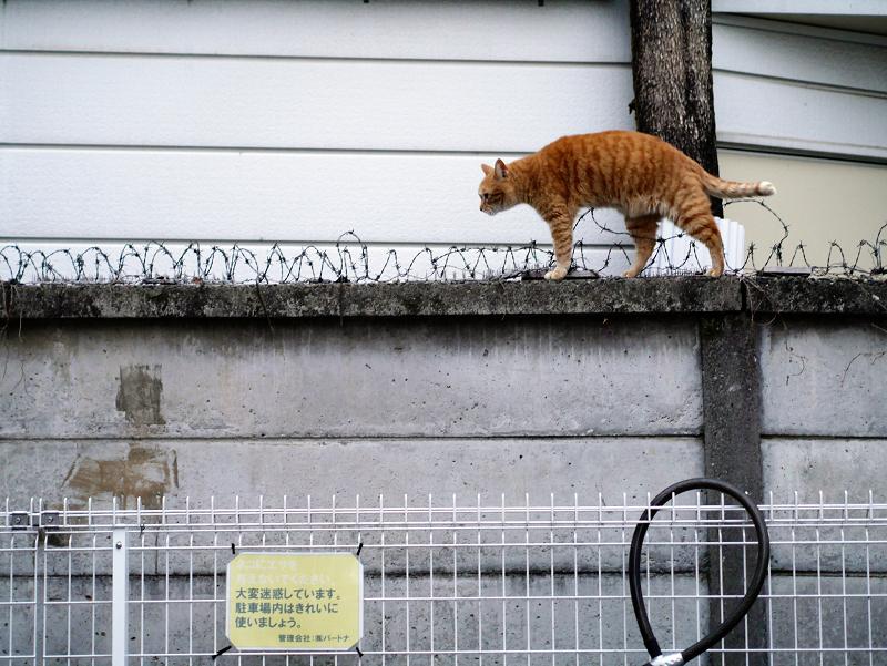 ブロック塀の有刺鉄線を跨いで歩く茶トラ猫4