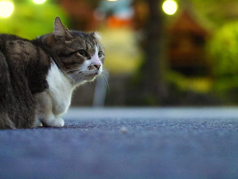 夕暮れのキジ白猫1