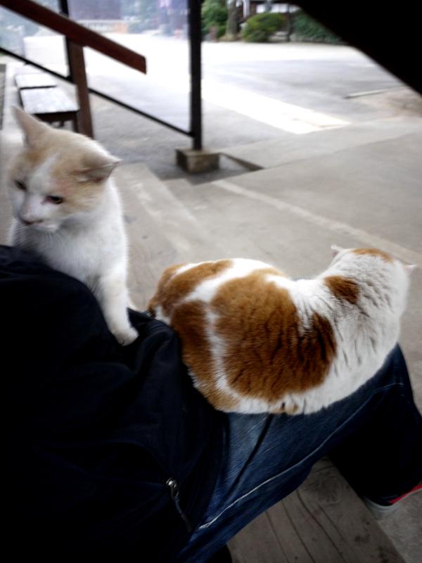 私の膝に乗ってくる茶白猫と白茶猫2