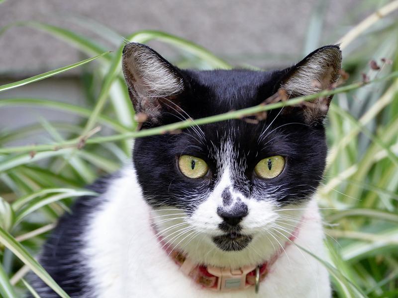 茂みみの中の白黒猫1