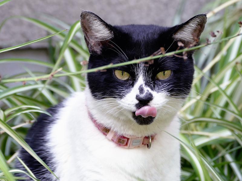 茂みみの中の白黒猫2