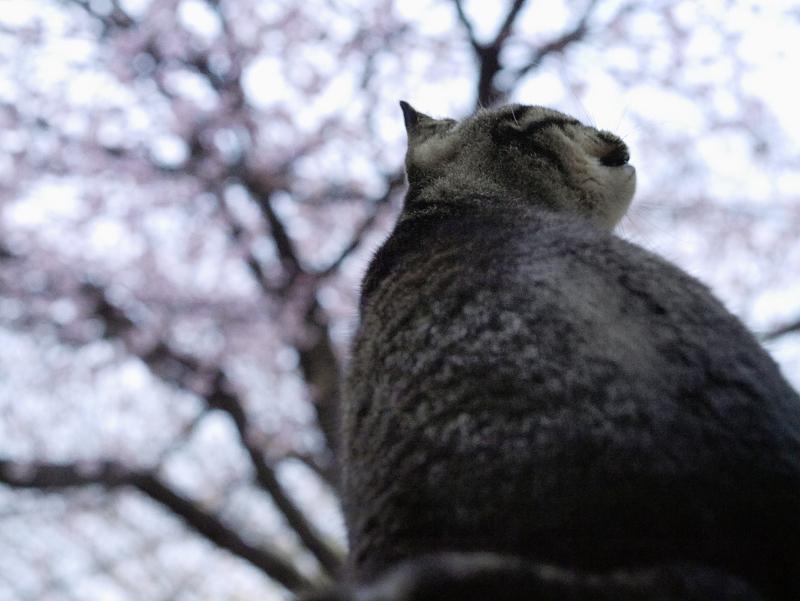 夕暮に寒桜を見上げるキジトラ猫1