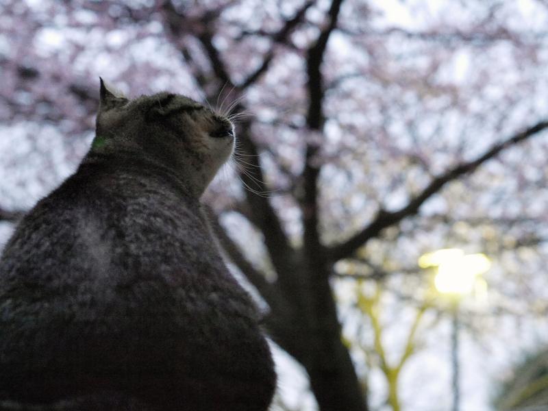 夕暮に寒桜を見上げるキジトラ猫2