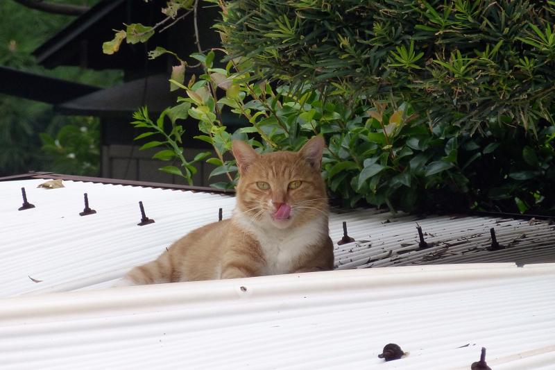 白いトタンと茶白猫2