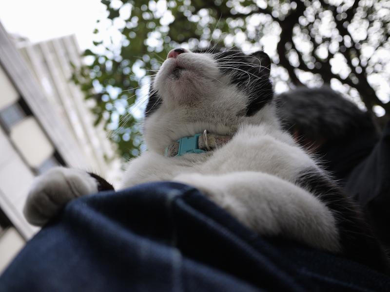 膝に乗った友だち黒白猫2