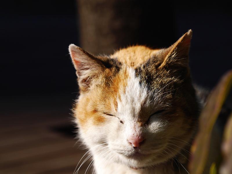 夕陽を浴びて目を閉じる三毛猫1