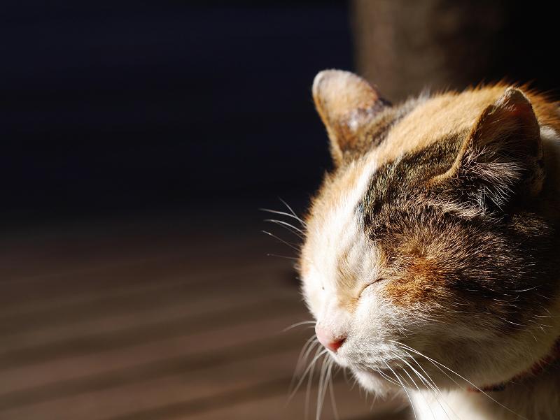 夕陽を浴びて目を閉じる三毛猫2