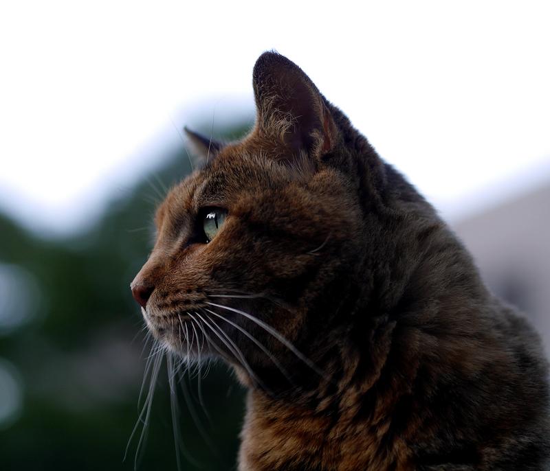 夕暮れとサビ猫