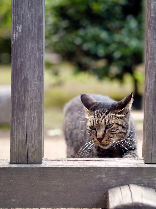 柵で爪研ぎをする猫