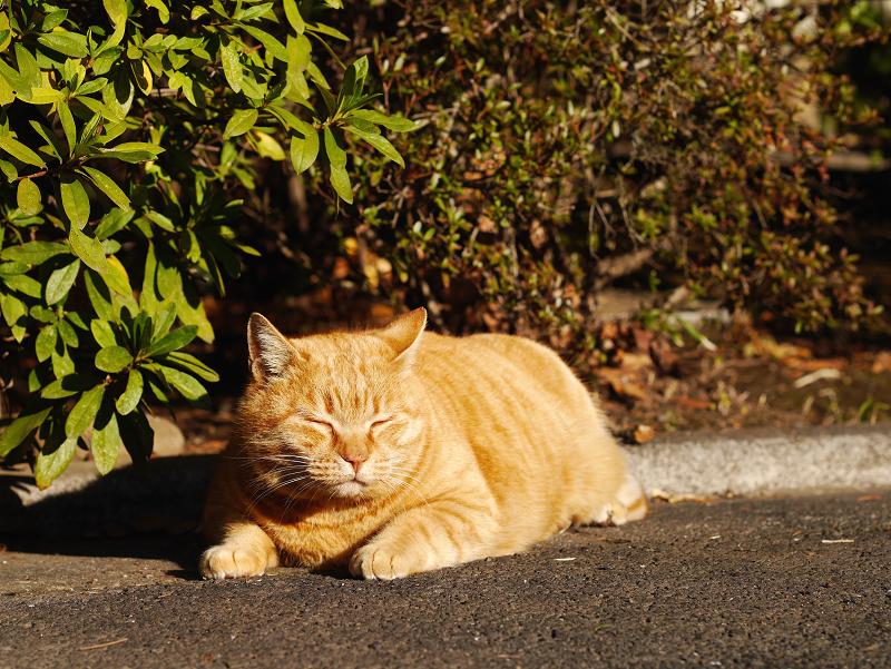 夕陽を浴びてる茂みの前の茶トラ猫1