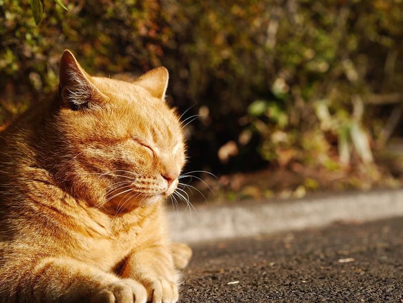 夕陽を浴びてる茂みの前の茶トラ猫2