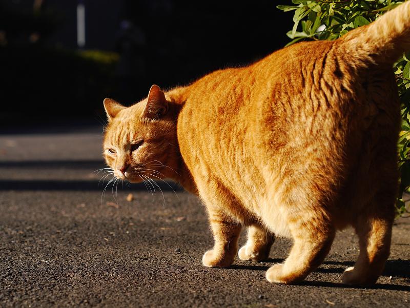 夕陽を浴びてる茂みの前の茶トラ猫3