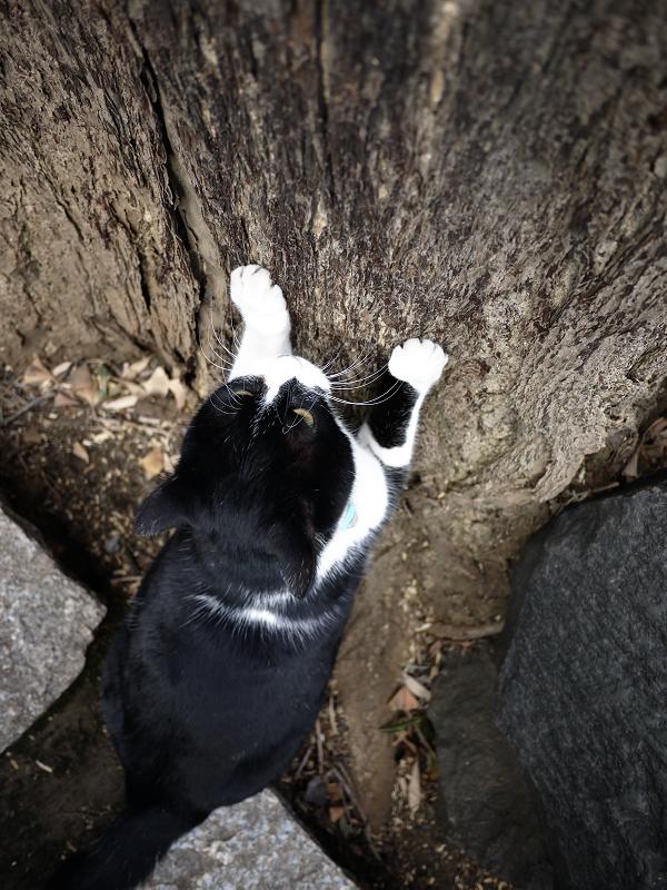 爪を研ぎまくる黒白猫2