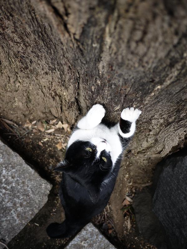 爪を研ぎまくる黒白猫3